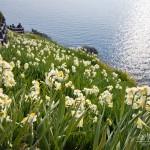 淡路島灘黒岩水仙郷の2016の見頃と開花状況は?アクセスと駐車場