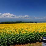 山梨明野のひまわり畑2016の見頃と開花状況は?アクセスと駐車場
