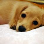 犬臭い部屋の消臭対策は?室内犬の体臭と部屋のにおいの消臭方法